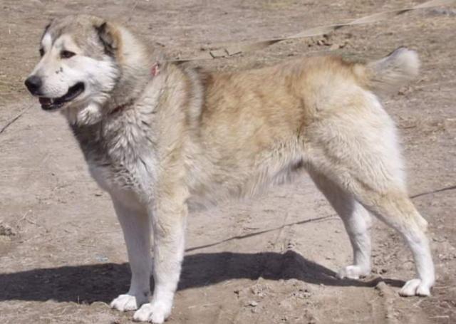 Гампр армянский волкодав: характер, описание породы собак с фото