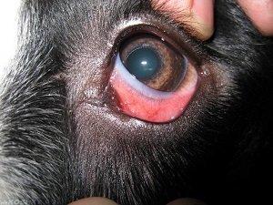 У собаки красные белки глаз: причины, профилактика, лечение