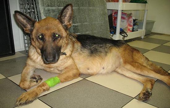 Асцит у собак (брюшная водянка): причины, симптомы, прогноз и лечение