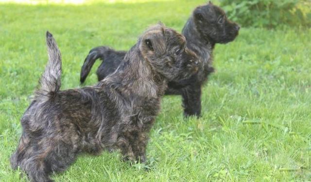 Керн терьер: описание породы, как выбрать щенка и где купить