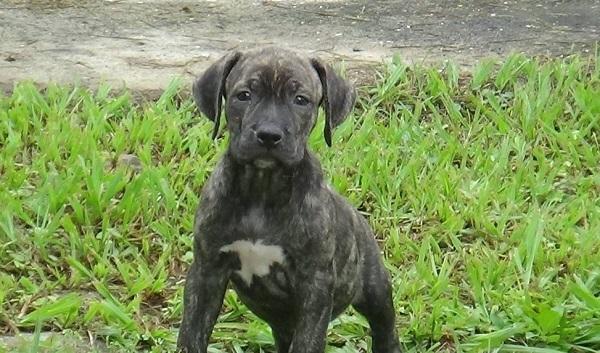 Американский бандог: описание породы, уход, где купить щенка и фото