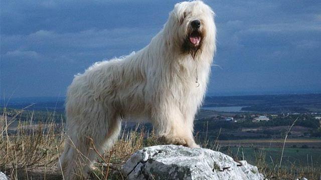 Южнорусская овчарка: описание породы, характер, фото и видео