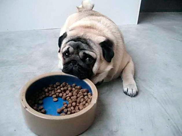 Как и чем кормить взрослого мопса и щенка - правила и советы