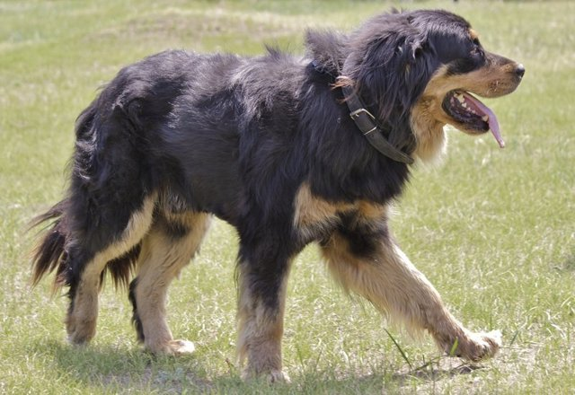 Бурят-монгольский волкодав (Хотошо): описание породы, фото, цена