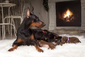 Чем кормить добермана в домашних условиях: щенка и взрослую собаку