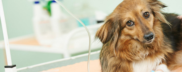 Вирус герпеса у собаки на лапах, носу, губе, ухе: симптомы и лечение