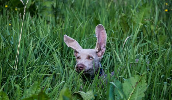 Как правильно чистить уши собаке в домашних условиях?