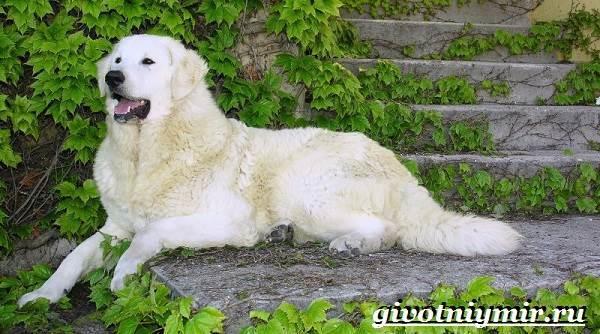 Венгерский кувас - описание породы собак, характер, фото, цена