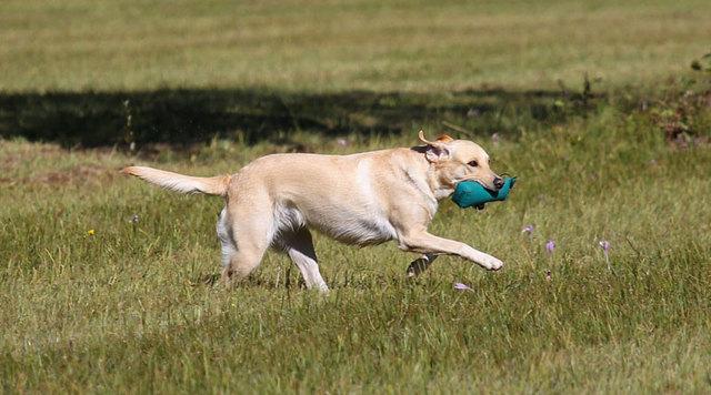 Как научить собаку команде апорт: что значит, алгоритм обучения