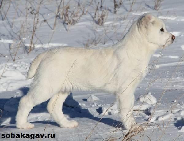 Алабай (Среднеазиатская овчарка): описание, характеристика, уход, цена и фото