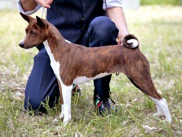 Басенджи собака: описание породы, отзывы, цена и где купить щенка