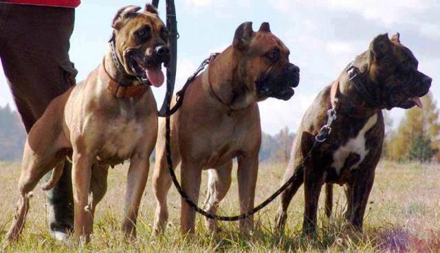 Алано испанский (эспаньол): описание породы собаки, как выбрать и где купить щенка