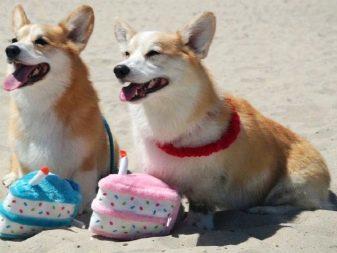 Вельш корги кардиган: описание породы, характер, отзывы, цена и где купить щенка