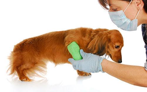 Эклампсия у собак послеродовая: симптомы, лечение