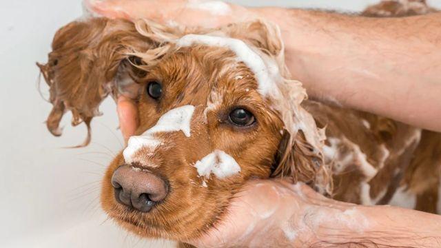 Можно ли мыть собаку мылом (хозяйственным, дегтярным, шампунем)