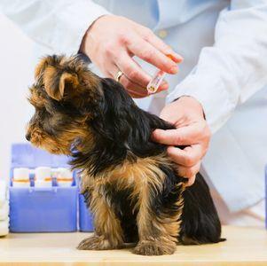 Когда и как делать прививки йоркам - график прививок щенкам и взрослым