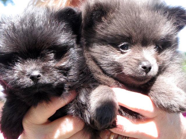 Померанский шпиц: описание, разновидности, как выбрать и где купить щенка