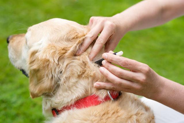 Боррелиоз у собак (болезнь Лайма): симптомы, последствия, лечение