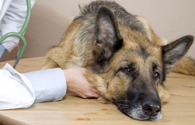 Бешенство у собак: признаки и симптомы, прививка