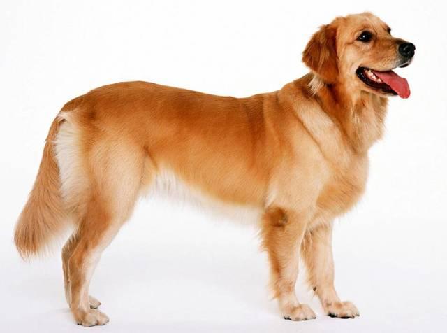 Собака кашляет: симптомы, болезни, лечение