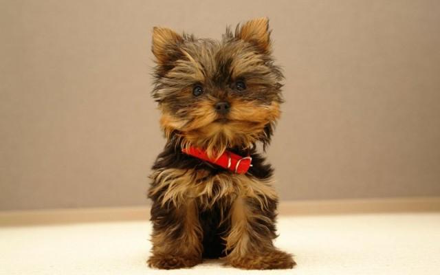 Гипоаллергенные породы собак Топ-30 собак для аллергиков и астматиков