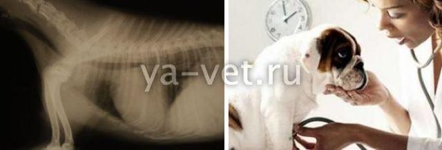 Инфаркт у собаки: первые симптомы и признаки, лечение