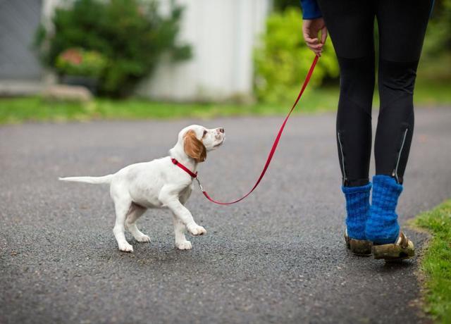 Когда, как и сколько нужно гулять со щенком