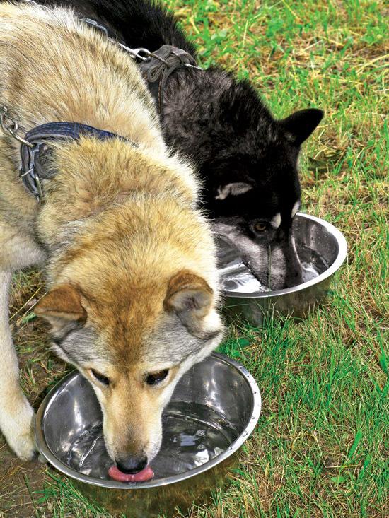 Чем кормить лайку: взрослую собаку и щенка лайки по месяцам