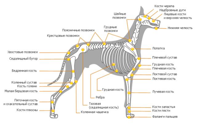 Анатомия собаки - строение скелета, внутренние органы, фото с описаниями