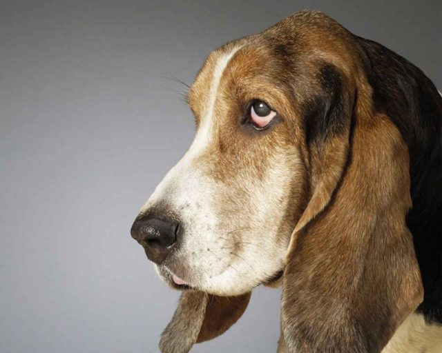 Бассет хаунд описание породы, уход и содержание бассет хаунда, отзывы о собаке, выбор щенка, фото