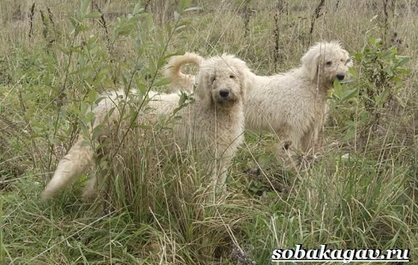 Венгерская овчарка (комондор): история и описание породы, как выбрать щенка и цена