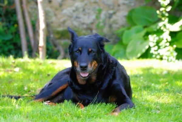 Босерон собака (французская овчарка): описание породы, фото, цена и где купить