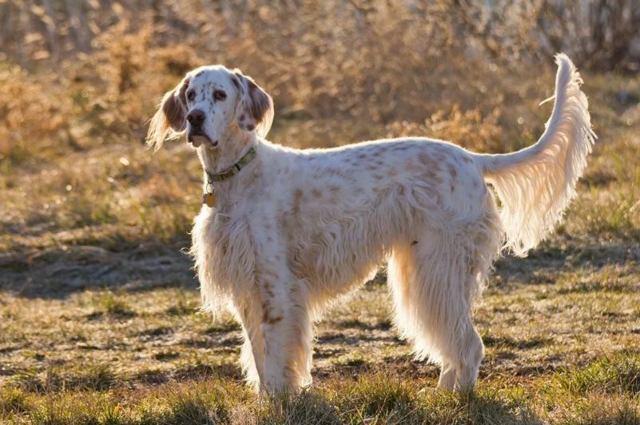 Порода собак с длинными ушами: короткие лапы, висячие, кудрявые, большие и длинные