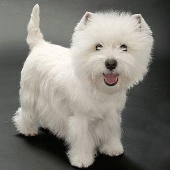 Вест хайленд уайт терьер: описание породы, характер, цена щенков, фото