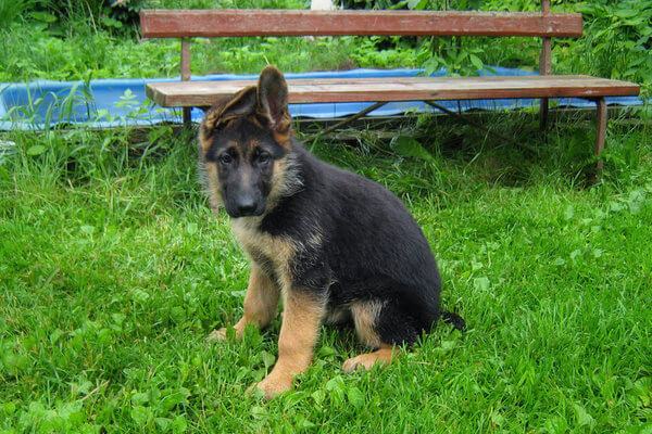 Когда встают уши у немецкой овчарки как поставить ушки щенку ели упали