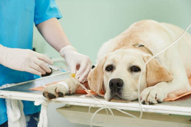У собаки урчит в животе: причины, симптомы, лечение