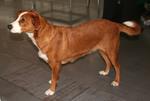 cредние породы собак ТОП 85 породы собак средних размеров c фото и названиями