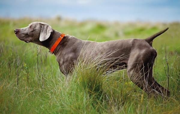 Веймаранер: описание породы, фото, цена и где купить щенка