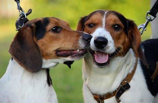Эстонская гончая Фото, описание породы, характеристики, цена и где купить щенка