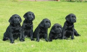 Дисплазия у собак: тазобедренных, локтевых суставов, лечение