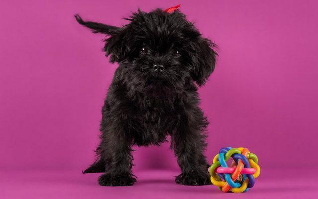 Аффенпинчер - описание породы, характер, фото собаки