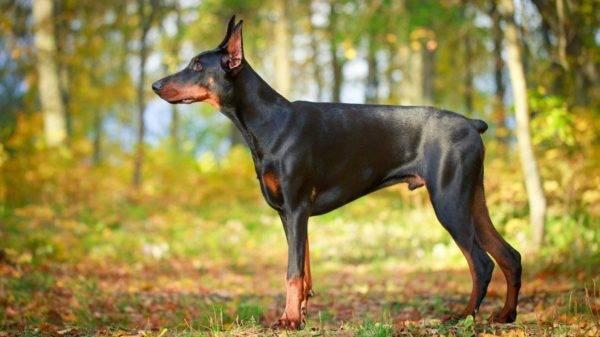Собаки-компаньоны: список лучших собак с фото