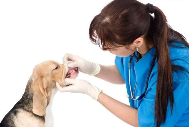 Зубной камень у собак: что такое, причины, удаление, препараты, цена
