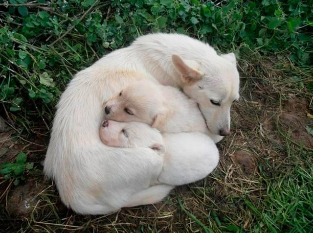 Алопекис собака: описание породы, фото, как выбрать и где купить щенка