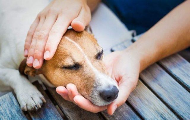 Дирофиляриоз у собак: симптомы, лечение, профилактика