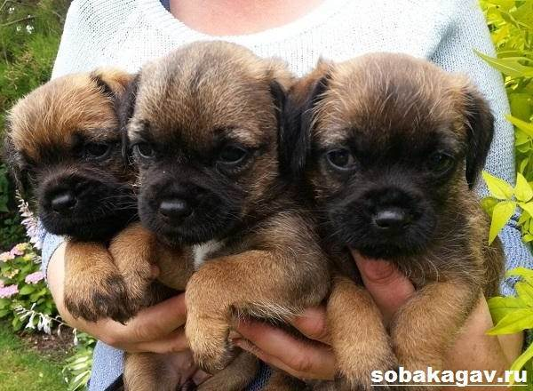 Бордер-терьер: описание породы, характер, отзывы, цена и где купить щенка