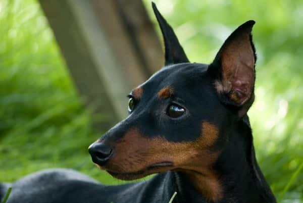 Вес и рост доберман пинчера и цвергпинчера: взрослой собаки, щенка по месяцам