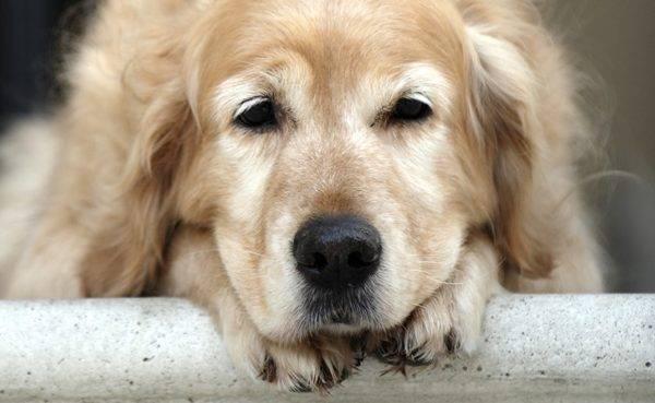 Гастрит у собаки: симптомы, лечение, кормление