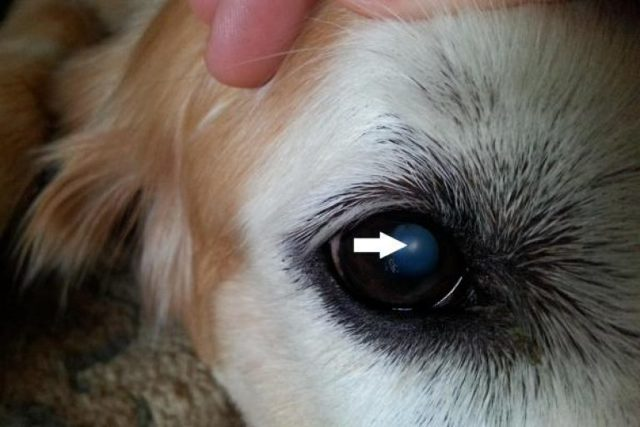 Бельмо на глазу у собаки: причины, как лечить и что делать