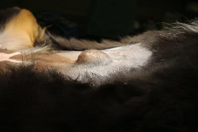 Грыжа у собак: межпозвоночная, пупочная, паховая, симптомы и лечение